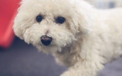 What Dog Breeds are Good for Apartment Dwellers?