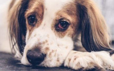 Can Dogs Catch the Flu?