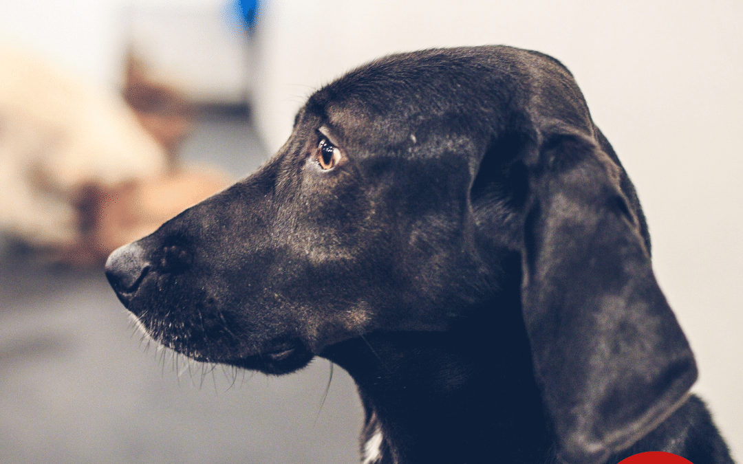 Signs of Canine Cognitive Decline